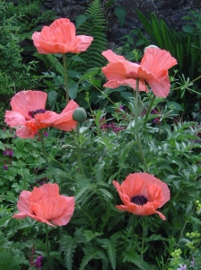 beautiful Oriental poppies full of style, colour and delicate beauty