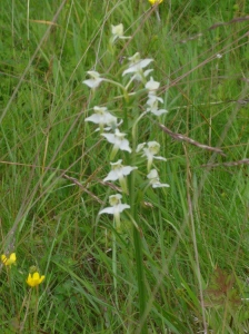 on Knuckles and my daily walk we found some beautiful Butterfly orchids