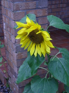 wonderful sunflower planted by the birds outside the front porch